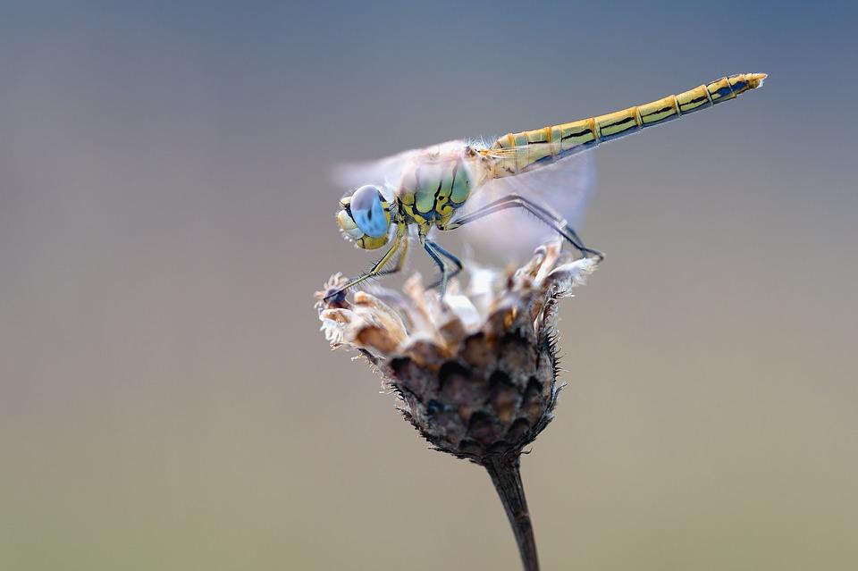 early-heath-dragonfly-2186186_960_720